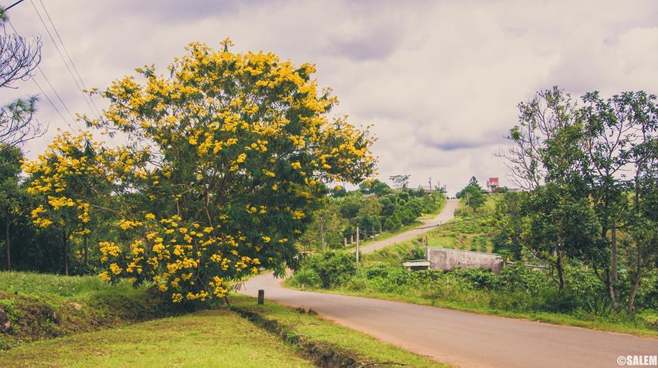 1 con dốc được tô điểm bằng màu vàng của cây điệp